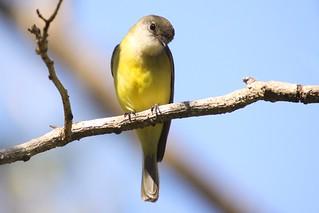 Lemon-bellied Flycatcher