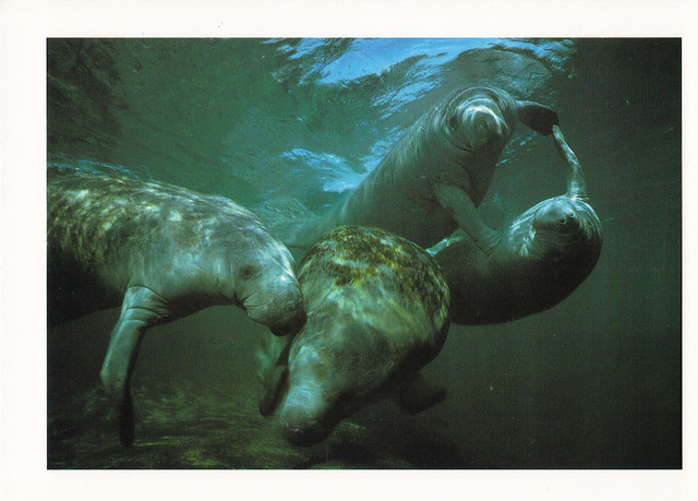 West Indian Manatees Postcard