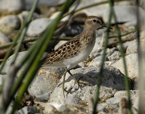 Least Sandpiper | by pinebird