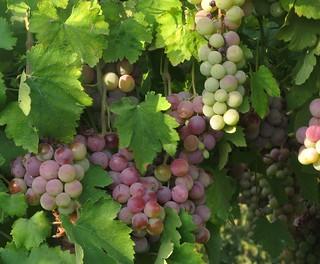 It's Harvest Time in Bekaa Valley, Lebanon   by -Reji