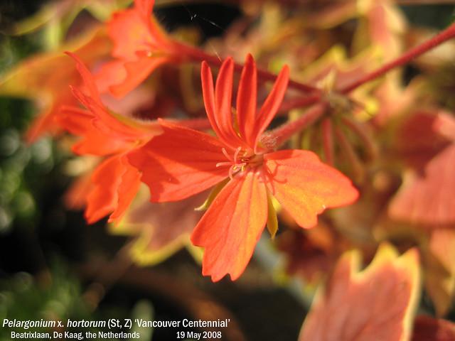 Pelargonium x. hortorum (St, Z) 'Vancouver Centennial' - Beatrixlaan, Kaag, NL 19 May 2008 01 Leo