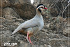 Arabian Partridge by faisalalrawahi333