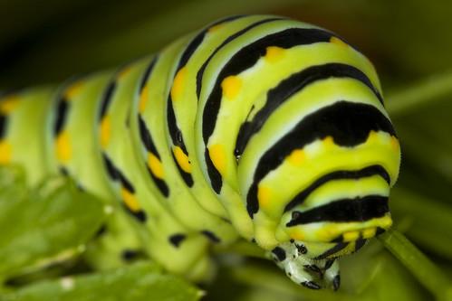 hero winner blackswallowtail digitalcameraclub papiliopolyxenesasteriusstolllepidopterapapilionidae