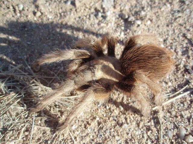 Tarantula; SE of San Manuel, AZ