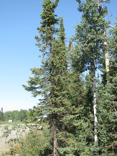 Picea mariana (Black Spruce)   by Arthur Chapman