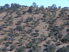 Bosque seco en el camino entre Guanacevi & La Cienega de Escobar, Durango, Mexico