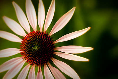 Project 50 #38 - Echinacea | by Christopher Craig