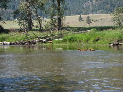 dogs river washington montana deer baxter goldenretrievers kettleriver ferrycounty
