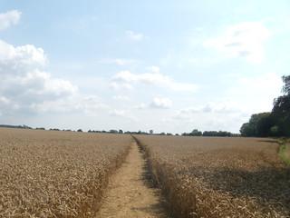 Wheat Lenham to Charing