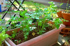 Parsley - Patio Garden | by gardengrrrl