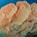 Fan Coral on a reef.