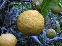 Rough lemon