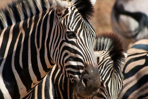 Cebras   by Carlos Castro Fotógrafo
