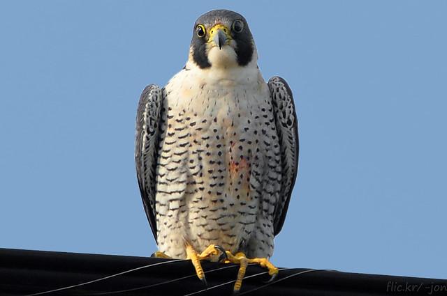 2014-11-18 Peregrine Falcon (03) (1024x680)