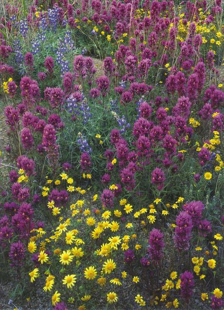 Arizona Wildflowers Postcard