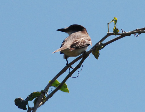 Giant Kingbird | by dermoidhome