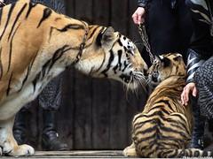 Big Cat Show - Tigers