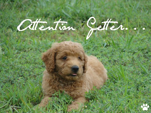 Red Miniature Australian Labradoodle | by Mountain Creek Labradoodles