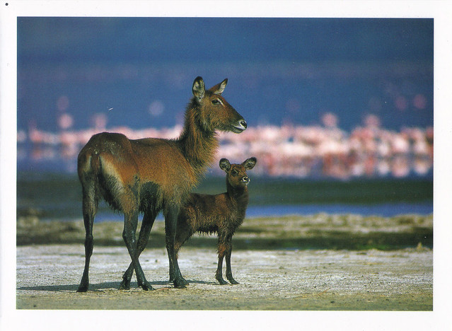 Waterbucks Postcard
