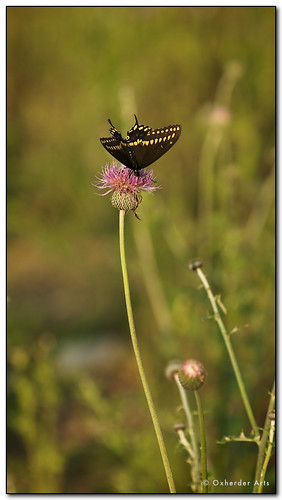 black butterfly texas thistle wildflower swallowtail blackswallowtail