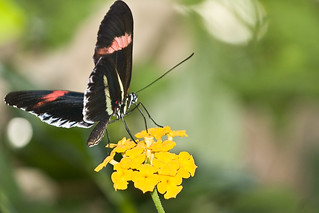 Small Postman Butterfly (Heliconius erato) | by wsilver