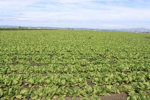 lettuce, lettuce and more lettuce   by benketaro