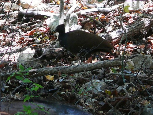 Orange-footed Scrubfowl | by East Asia & Pacific on the rise - Blog