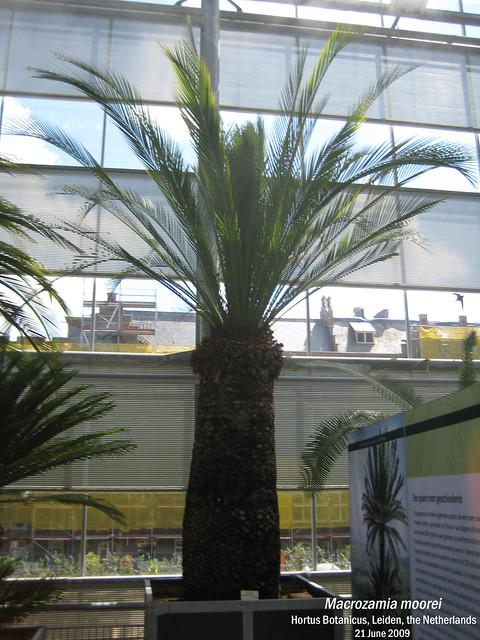 Macrozamia moorei - Hortus Botanicus, Leiden, NL 21 Jun 2009 07 Leo
