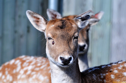 European Fallow Deer (20091020-110406-PJG) by DrgnMastr