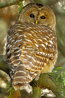barred owl (strix varia) | by punkbirdr