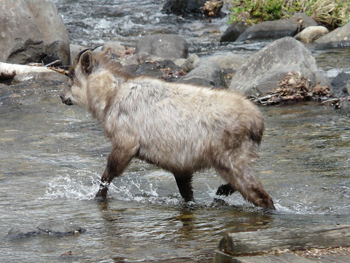 Serow wading the river | by tristanf