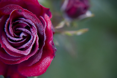 macro nature rose oregon landscape dewdrops bokeh portlandrosegarden