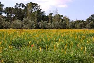 Yellow Fields in the Parque Natural Ria Formosa, Algarve | by One more shot Rog