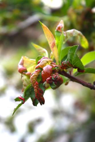 Peach Leaf Curl Disease | by joeysplanting