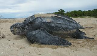 Leatherback sea turtle/ Tinglar, USVI | by USFWS/Southeast