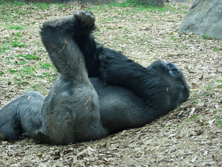 Gorilla doing his stretches | by The_Gut