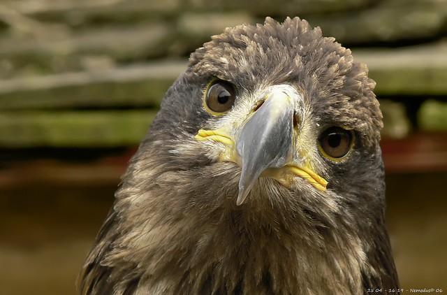 Poor sad eagle