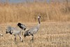 Grue cendrée - Grus grus - Common Crane by fildefer2013