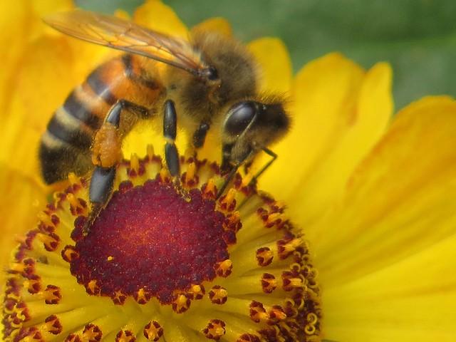Worker Honey Bee (28) on Rudbeckia