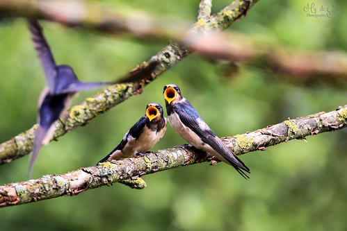 Barn swallows waiting for lunch | by mysan_32