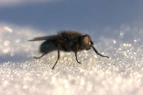 Fly on the snow