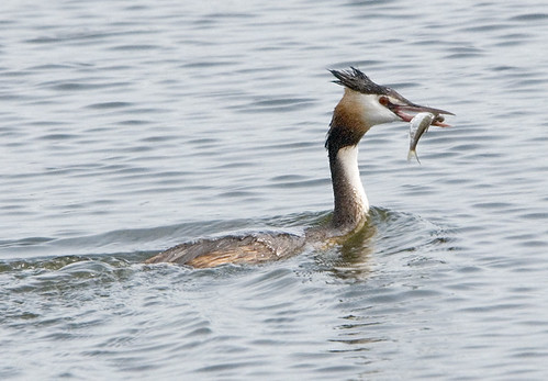 Great Crested Grebe | by Sergey Yeliseev