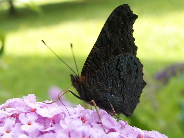 Muß meinem Fuchs doch mein Täubelein zeigen, er lief und fand den Schmetterling strecken in Sträuchen, sieh, Fuchs, mein lieb Täublein, mein Täubchen so schön, hast du dein Tag so ein Täubchen in Dresden gesehn 116