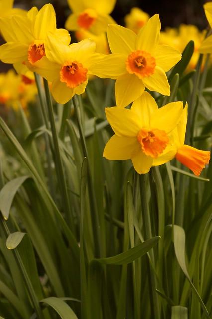 imgp8473 - Daffodils