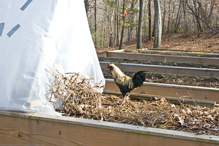 Humble Garden 2009: rooster trying to get into coldframe | by nikaboyce