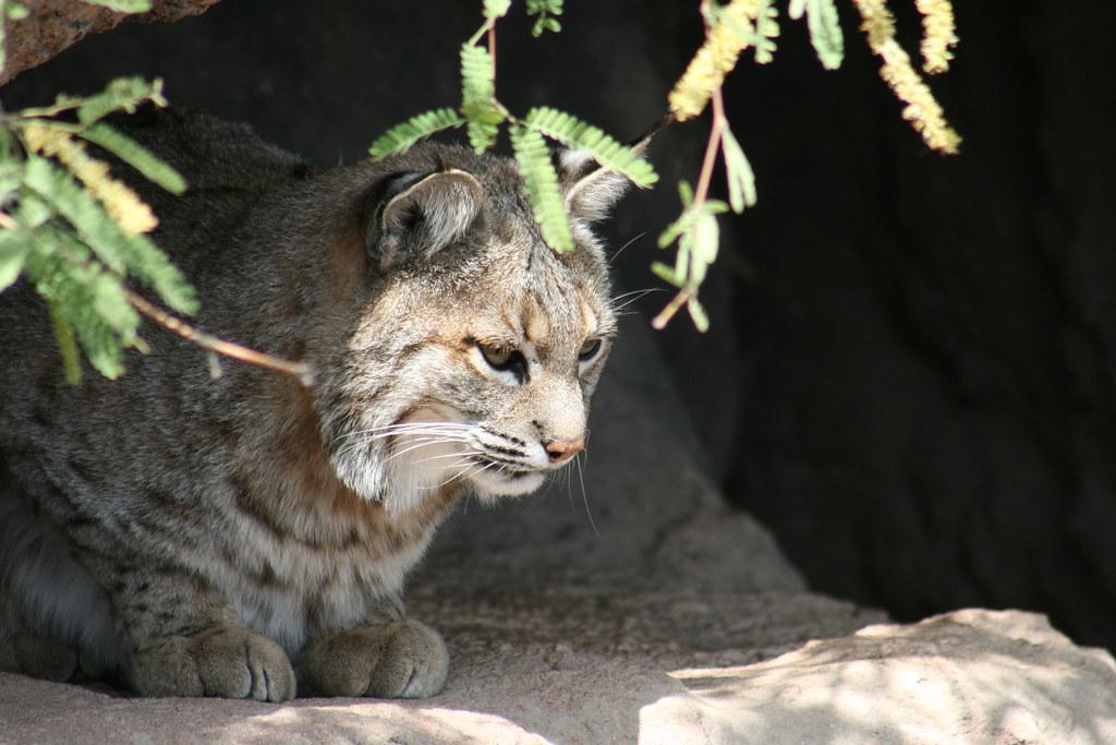Bobcat | at the...