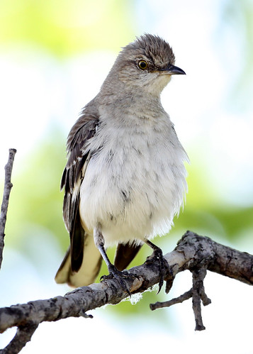 Northern Mockingbird   by Manjith Kainickara *manjithkaini.net*