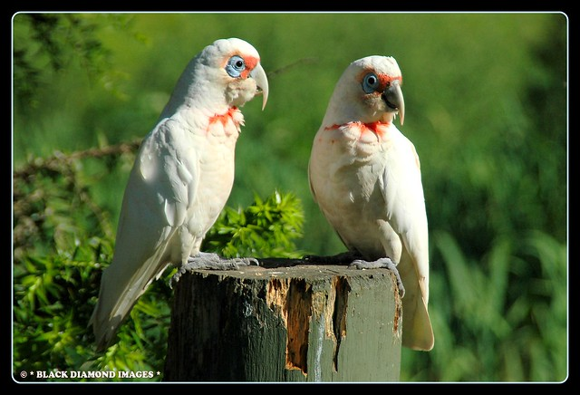 Cacatua tenuirostris - Long-billed Corella (Forest of Tranquillity,Ourimbah,NSW)