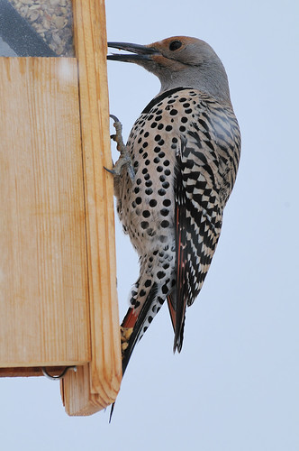 Female Red-shafted Northern Flicker eating6 | by Darin Ziegler