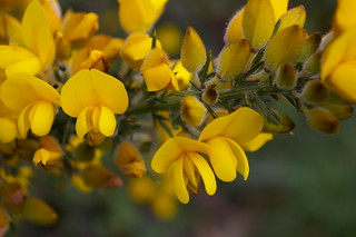 Gorse | by Polar lights